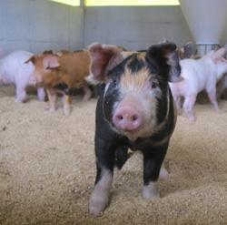 三元豚の写真