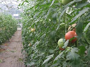 トマトの写真2